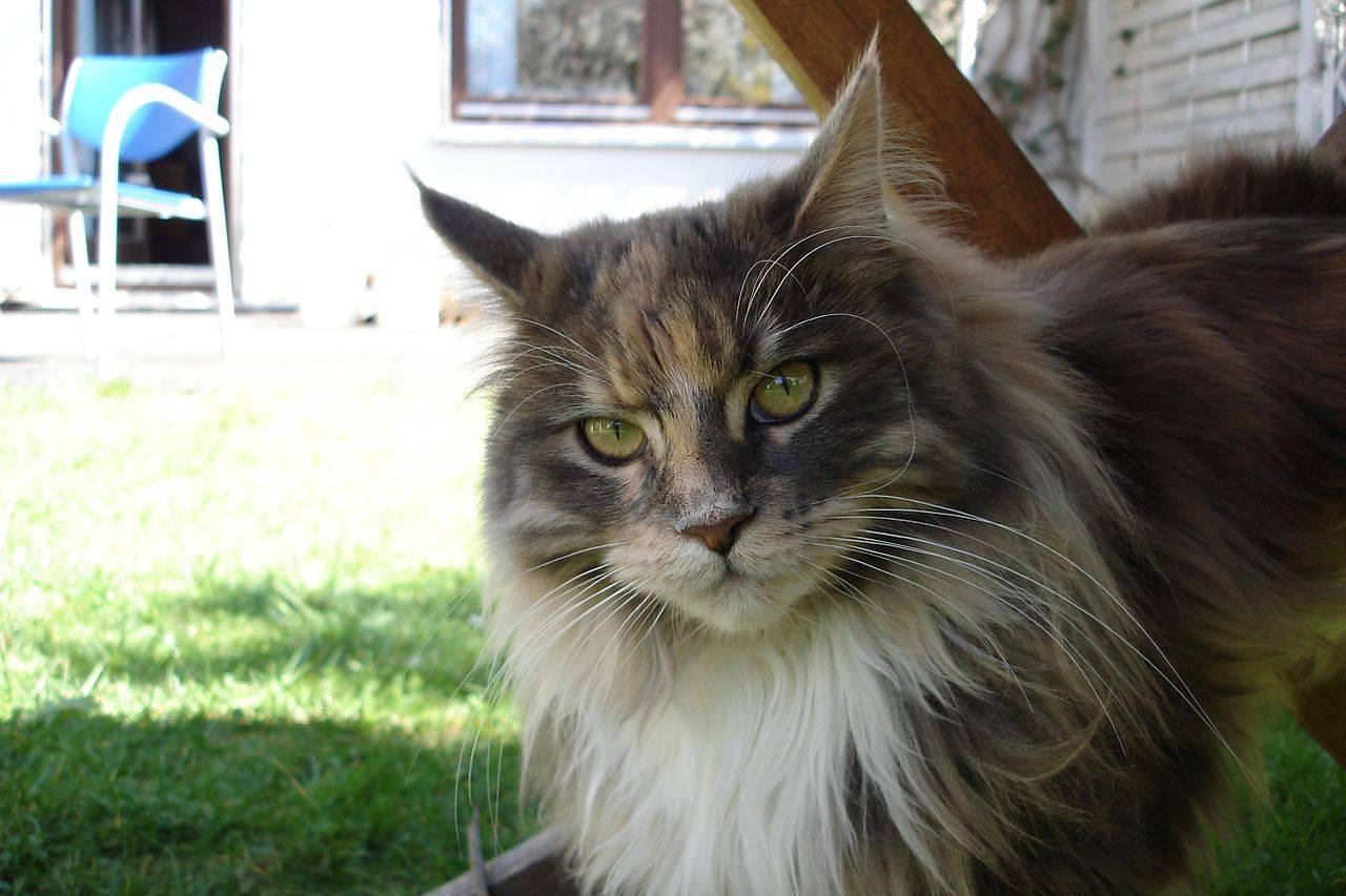 Мейн-кун: описание породы, характер кошек и котов, советы по содержанию и уходу, фото мэйкуна
