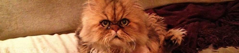 Сколько живут персидские кошки?
