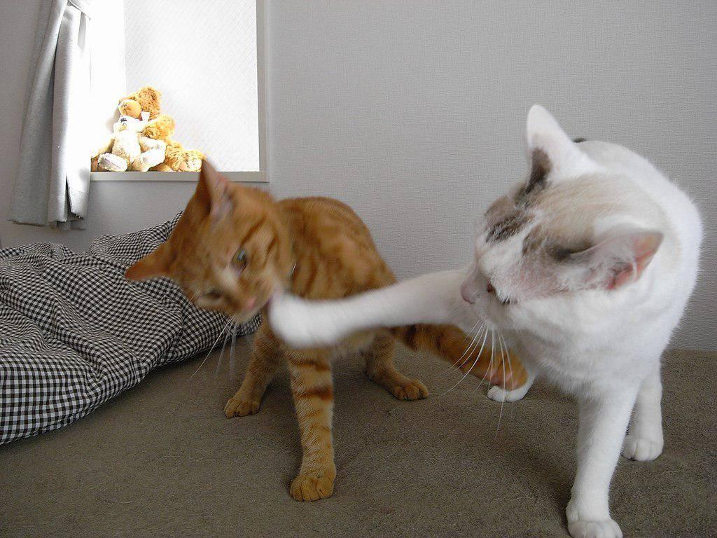 Как подружить двух кошек в одной квартире: советы и правила