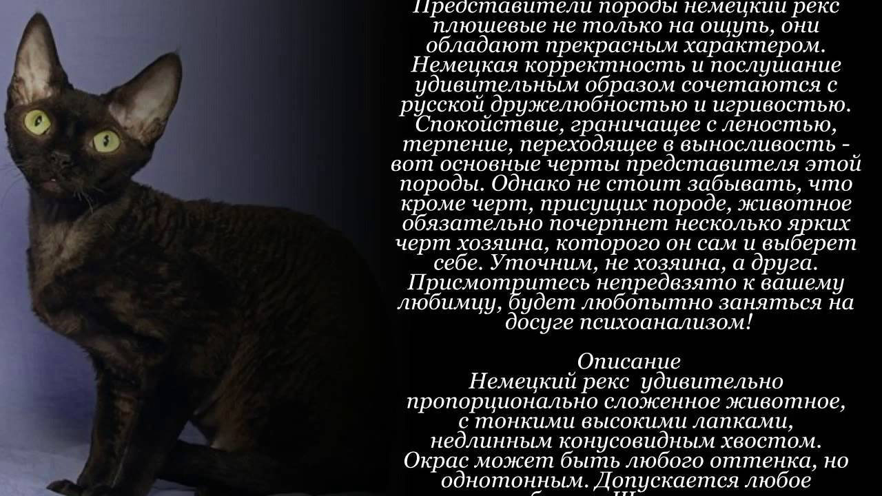 Немецкий рекс — описание пород котов
