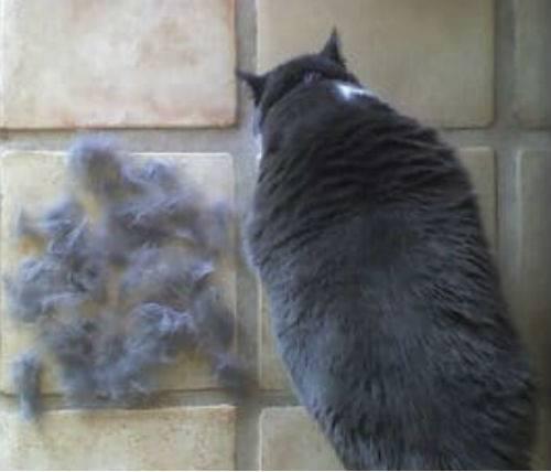 Почему лезет шерсть у британского кота?