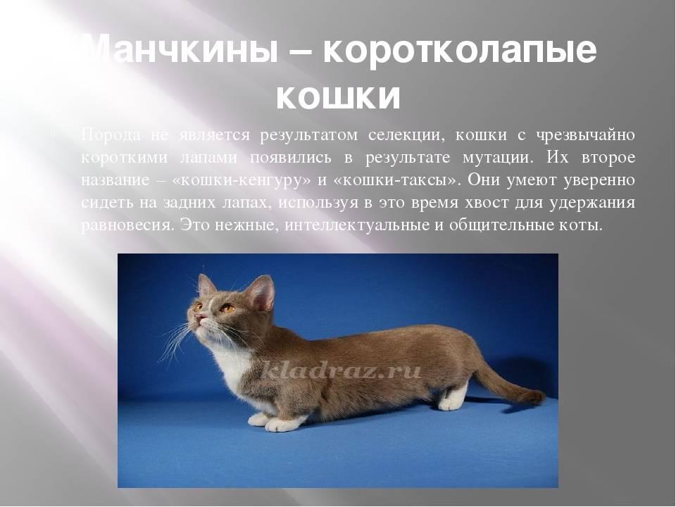 Породы кошек с короткими лапами