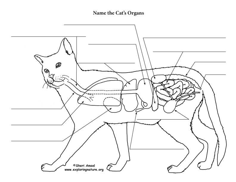 Анатомия собаки - строение скелета, внутренние органы, фото с описаниями | petguru