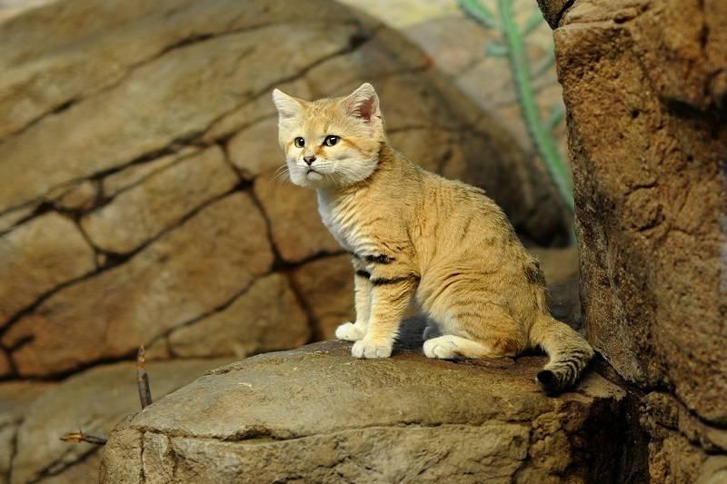 Рысь: описание животного, что ест, места обитания, сколько живут