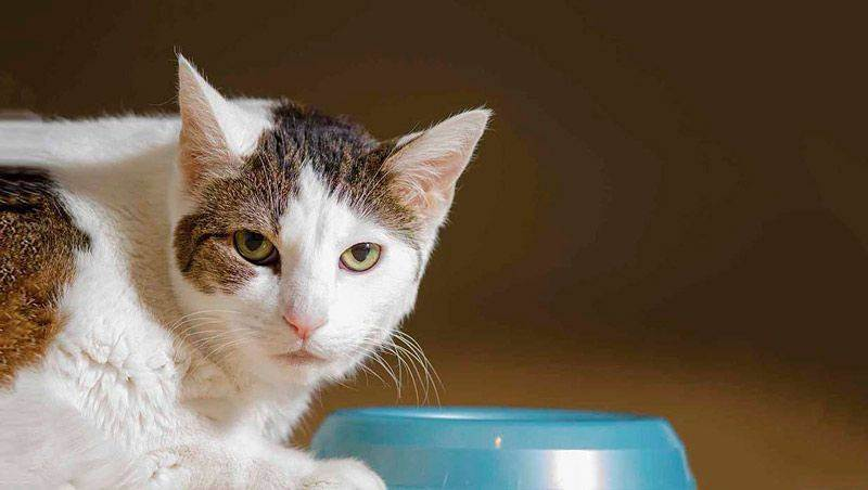У кошки пропал аппетит, причины, что делать, профилактика | ветеринарная служба владимирской области