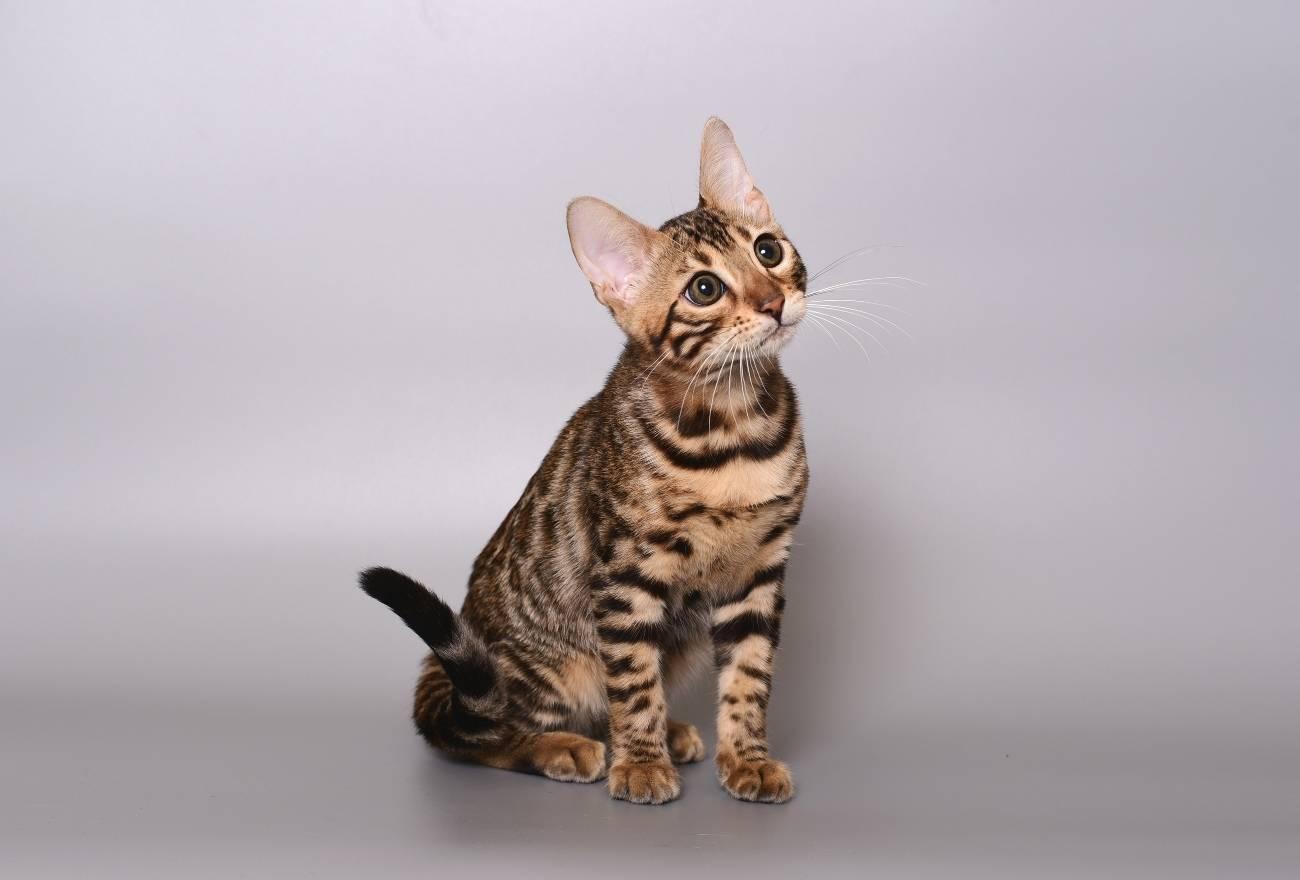 Всё об уникальной породе домашних бенгальских кошек
