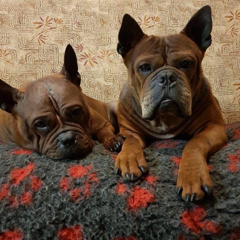 Китайская породы собак (26 фото): маленькие и большие собаки с названиями, самые любимые животные императоров, рыжие пушистые собачки-медвежата