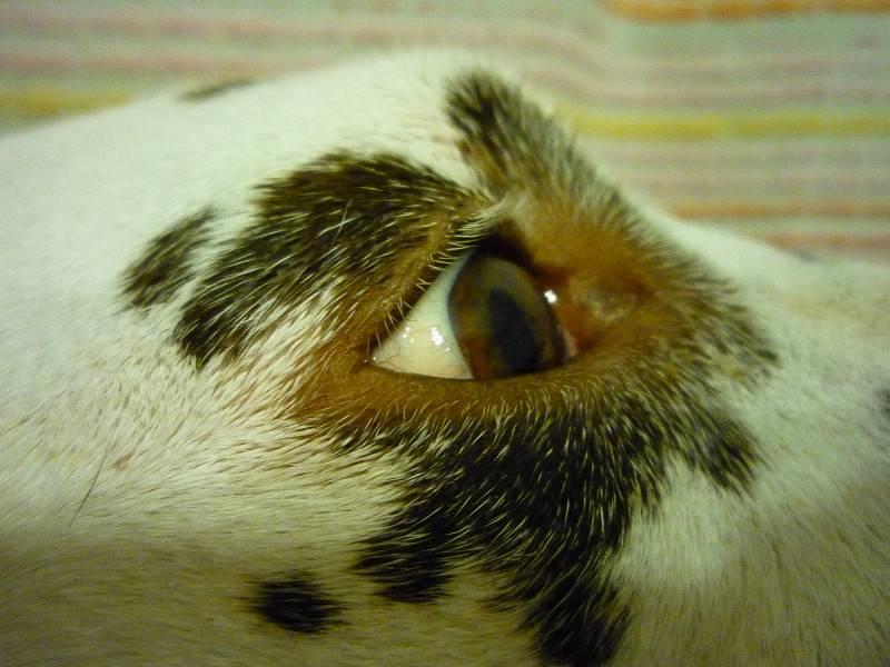 Воспаление печени у кошек: причины, симптомы, лечение