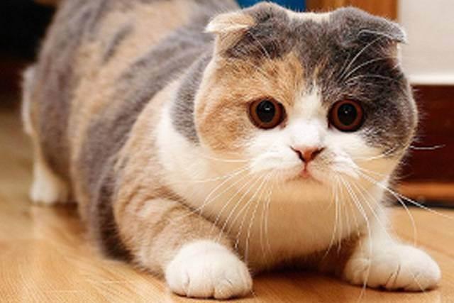Разведение шотландских кошек. советы от эксперта по кошкам