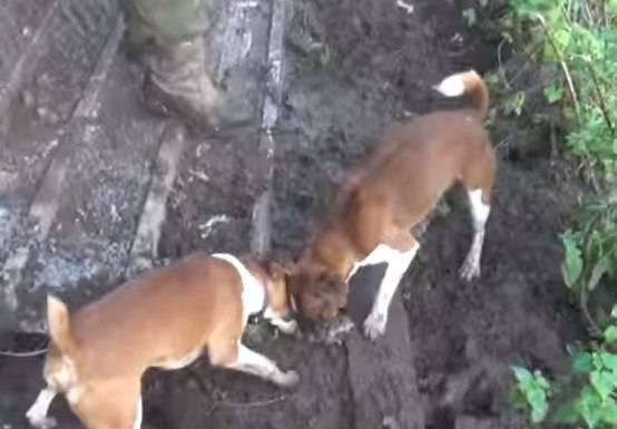 Порода собак-крысоловов: описание, содержание и уход