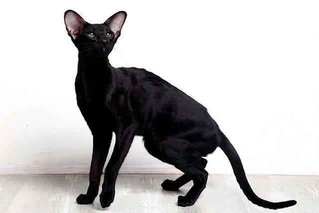 Ориентальная кошка: фото, характер, описание породы, цены
