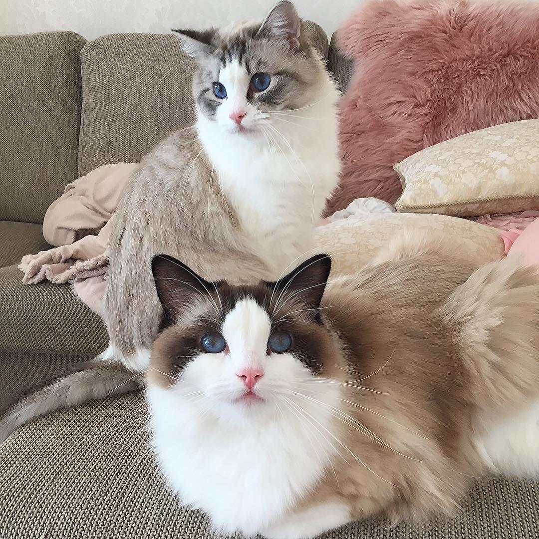 История кошек рэгдолл
