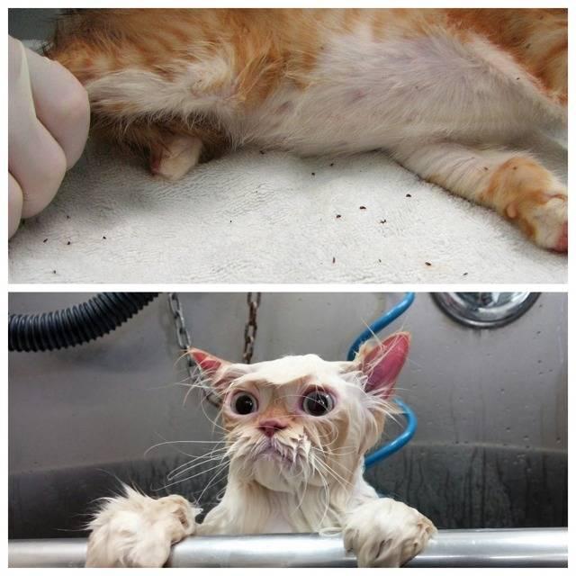 Блохи у кошки опасны для человека: как избавиться от паразитов