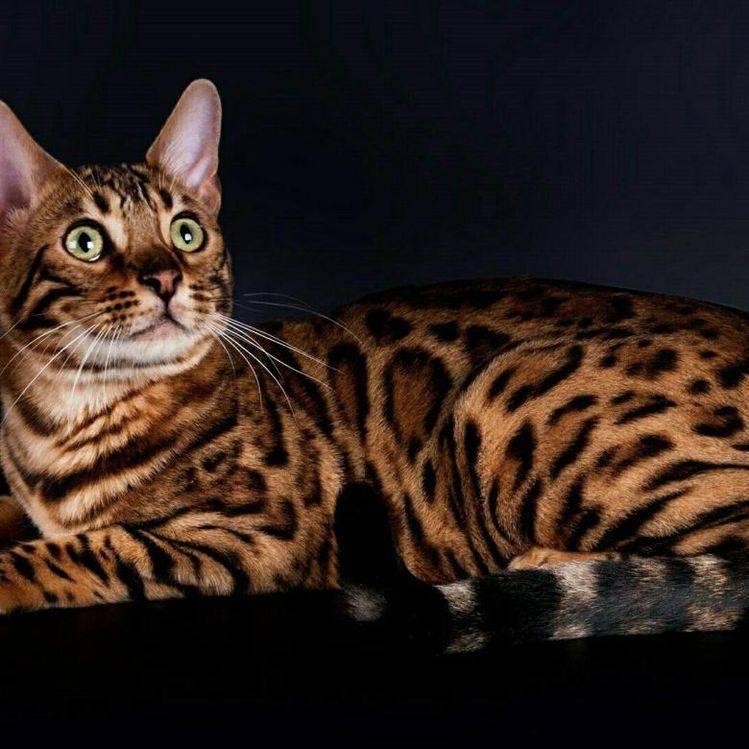 Бенгальская кошка: 130 фото описания внешнего вида и ухода за кошкой