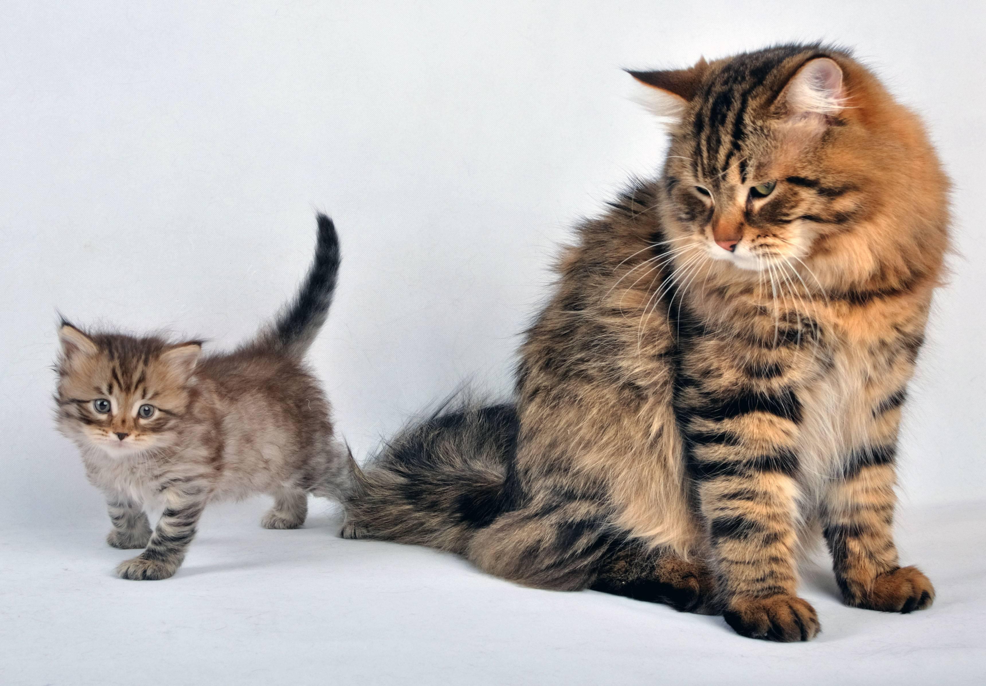 Сибирская кошка (фото): ласковый пушистик с королевским характером - kot-pes