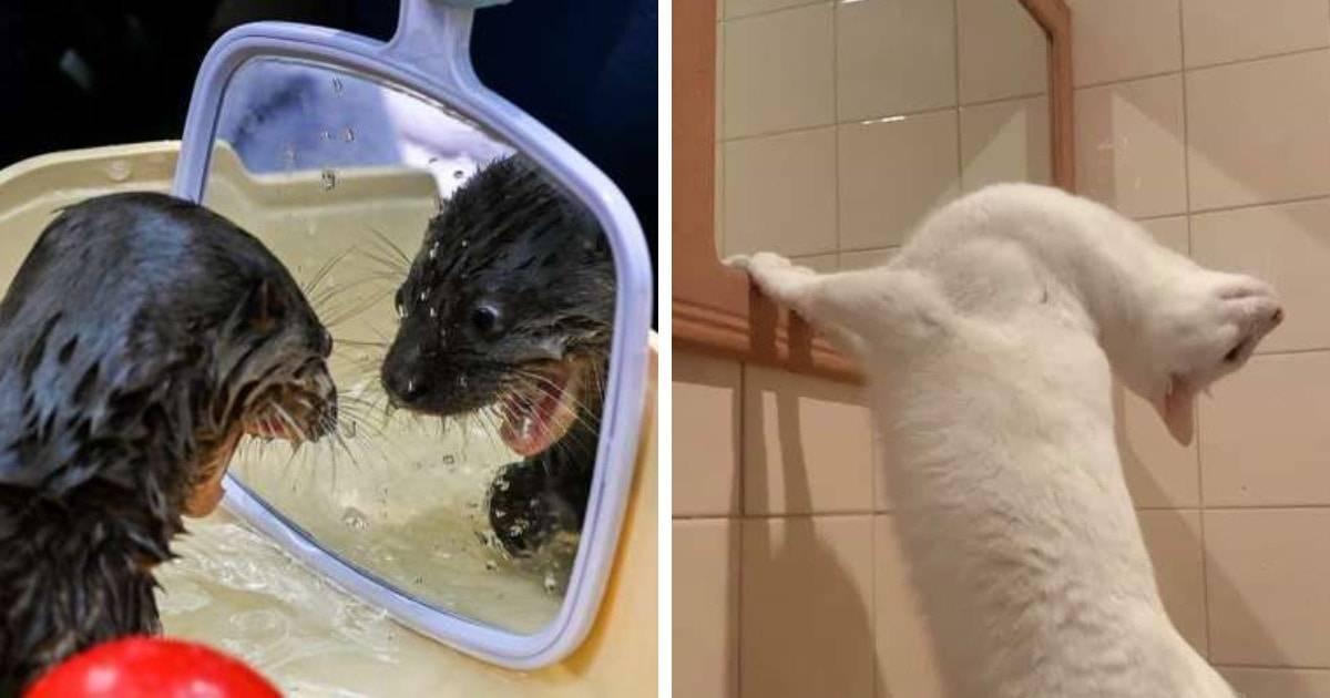 Что значит если кот смотрит в зеркало. видят ли кошки себя в зеркале