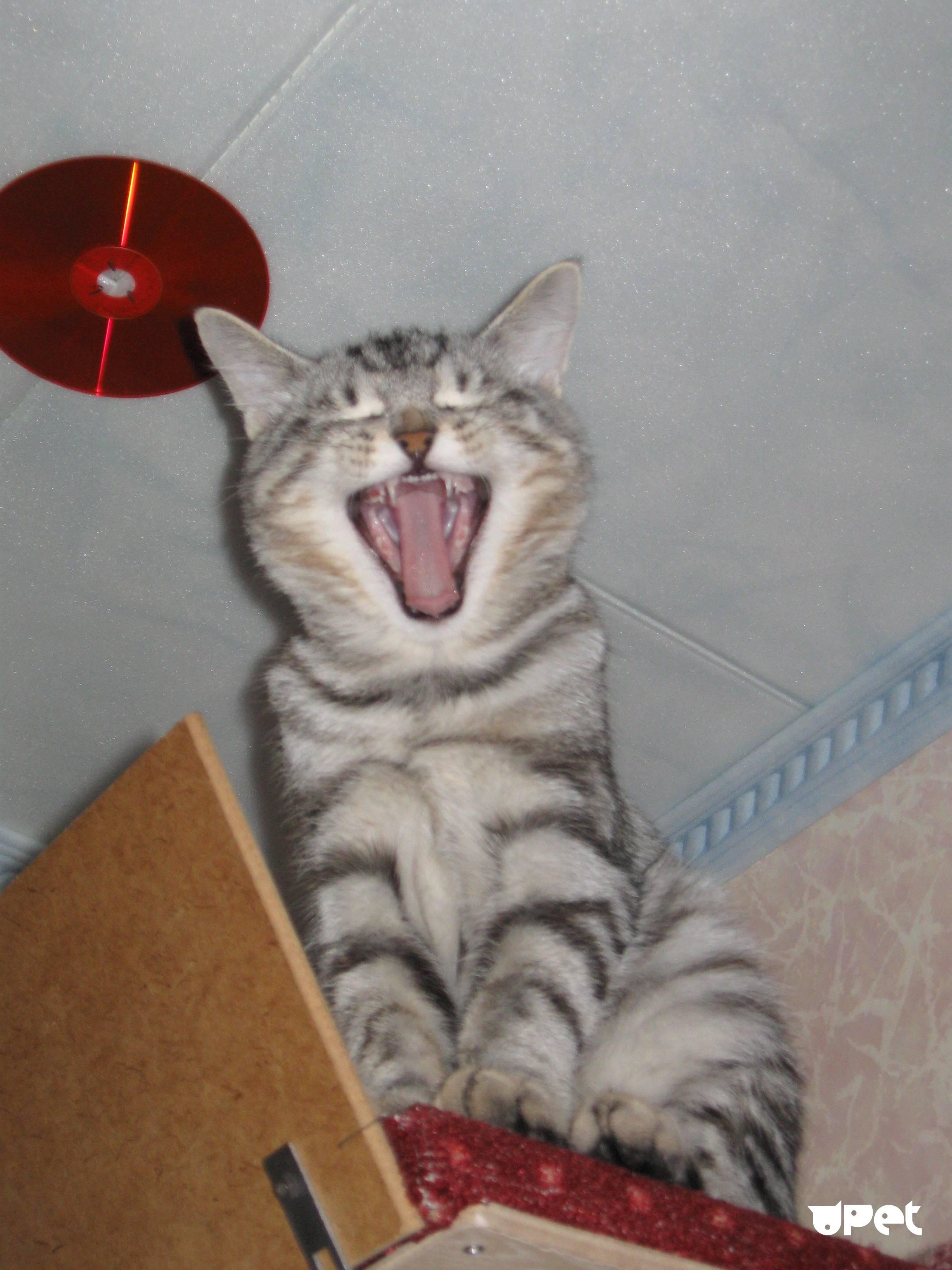 Почему кот часто зевает