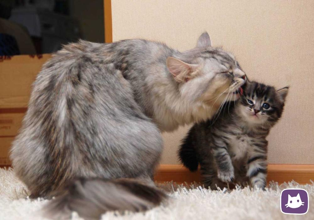 Кошка отказалась от котенка