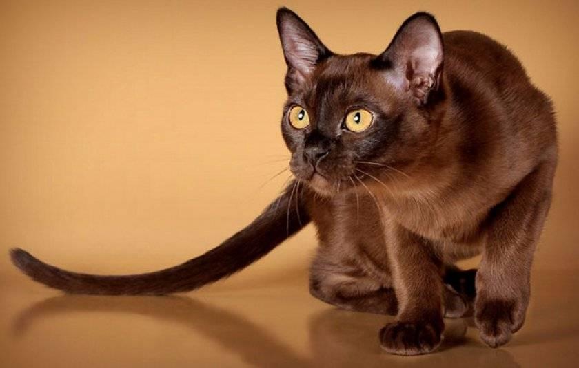 Содержание бурманской кошки – советы и рекомендации