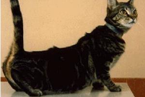 Стерилизация кошек лапароскопическим методом