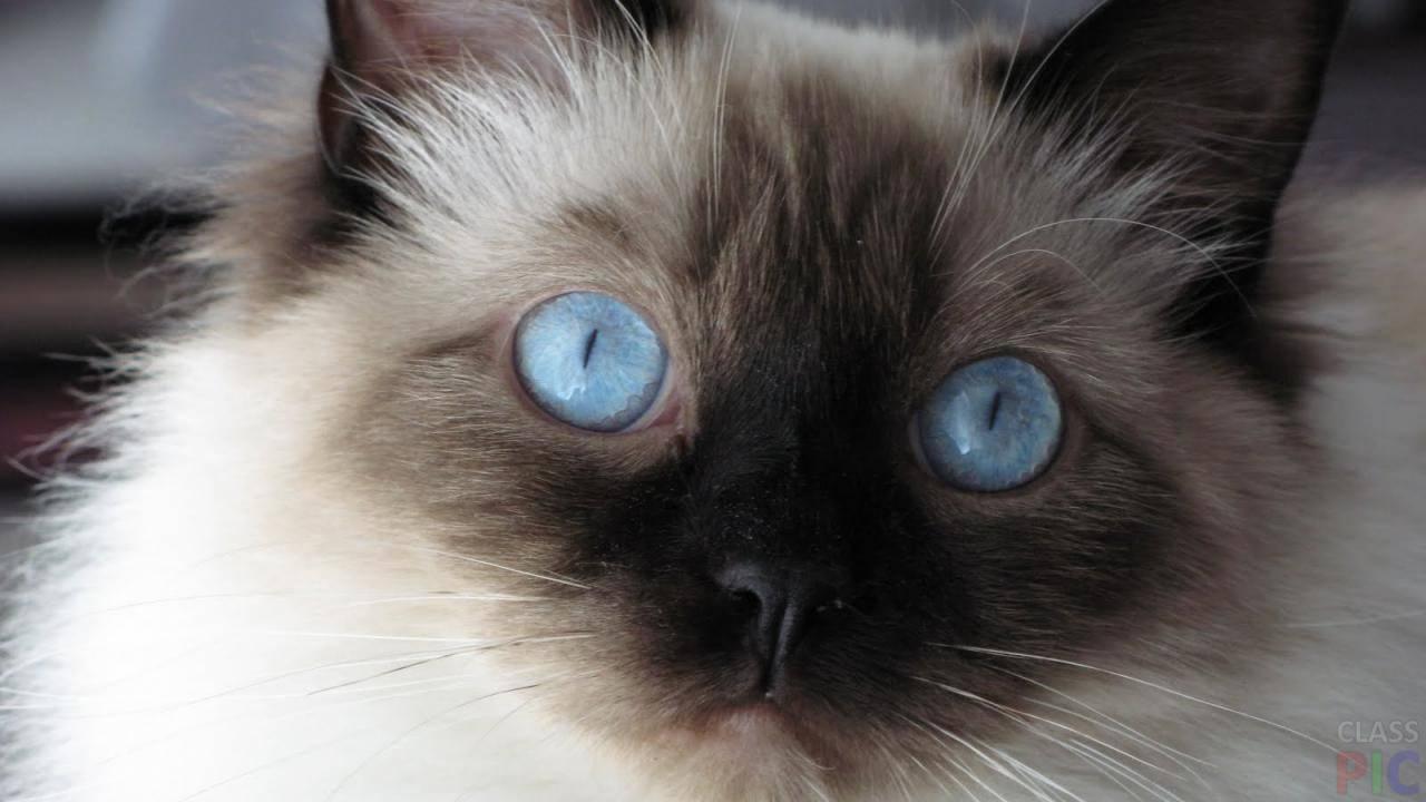 Сиамская кошка: история породы, характерные черты, уход и разведение