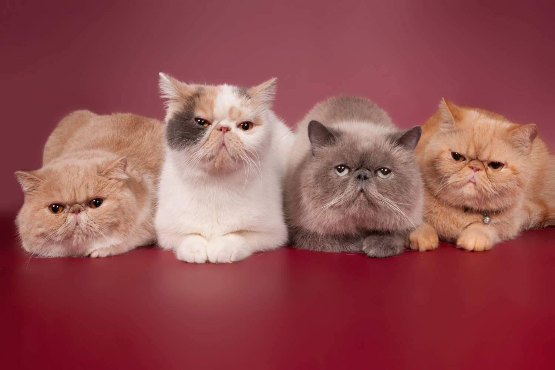 Сколько живут турецкие ангорские кошки – продолжительность жизни