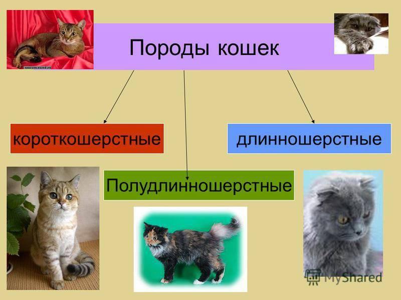 Полудлинношёрстные - группа пород кошек, описание, фото, содержание, уход