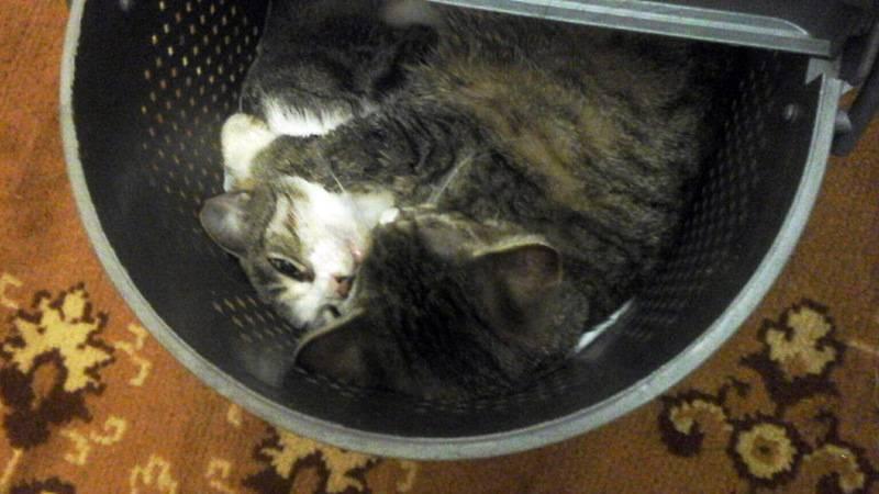 Чем кормить стерилизованную кошку: советы и рекомендации