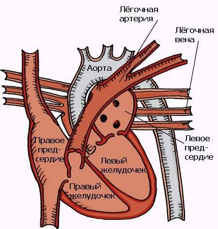 Строение и функции сердца кошки