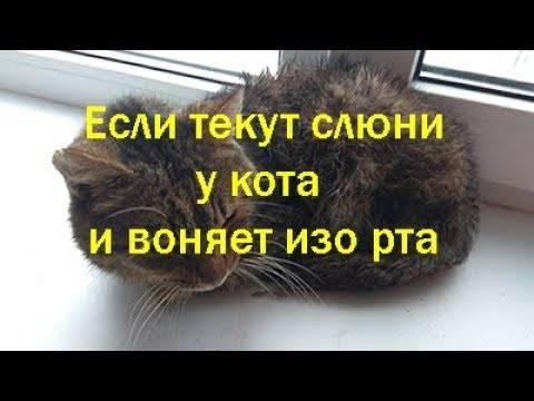 Почему у кошки текут слюни — причины, признаки, симптомы, лечение и профилактика