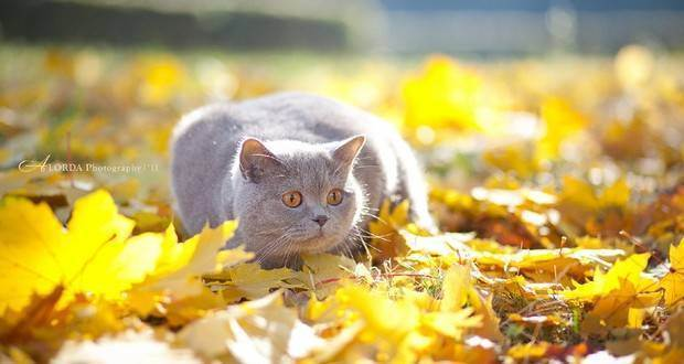 Когда линяют британские кошки. в какое время линяют британские кошки