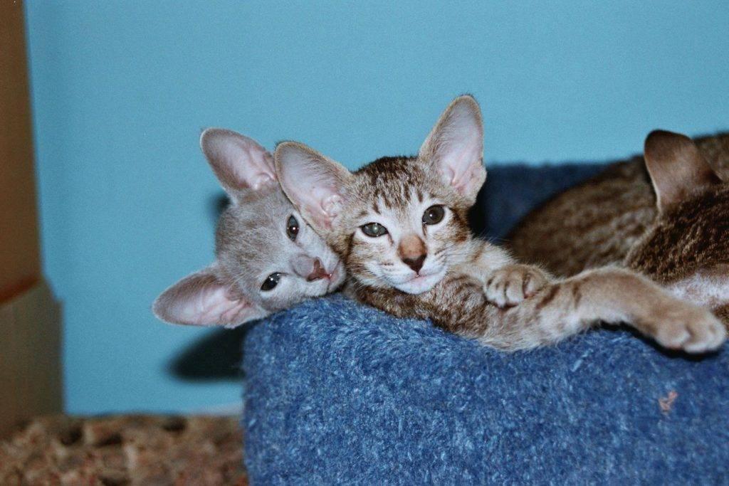 Топ-10 самых умных пород кошек: особенности, фото, рейтинг