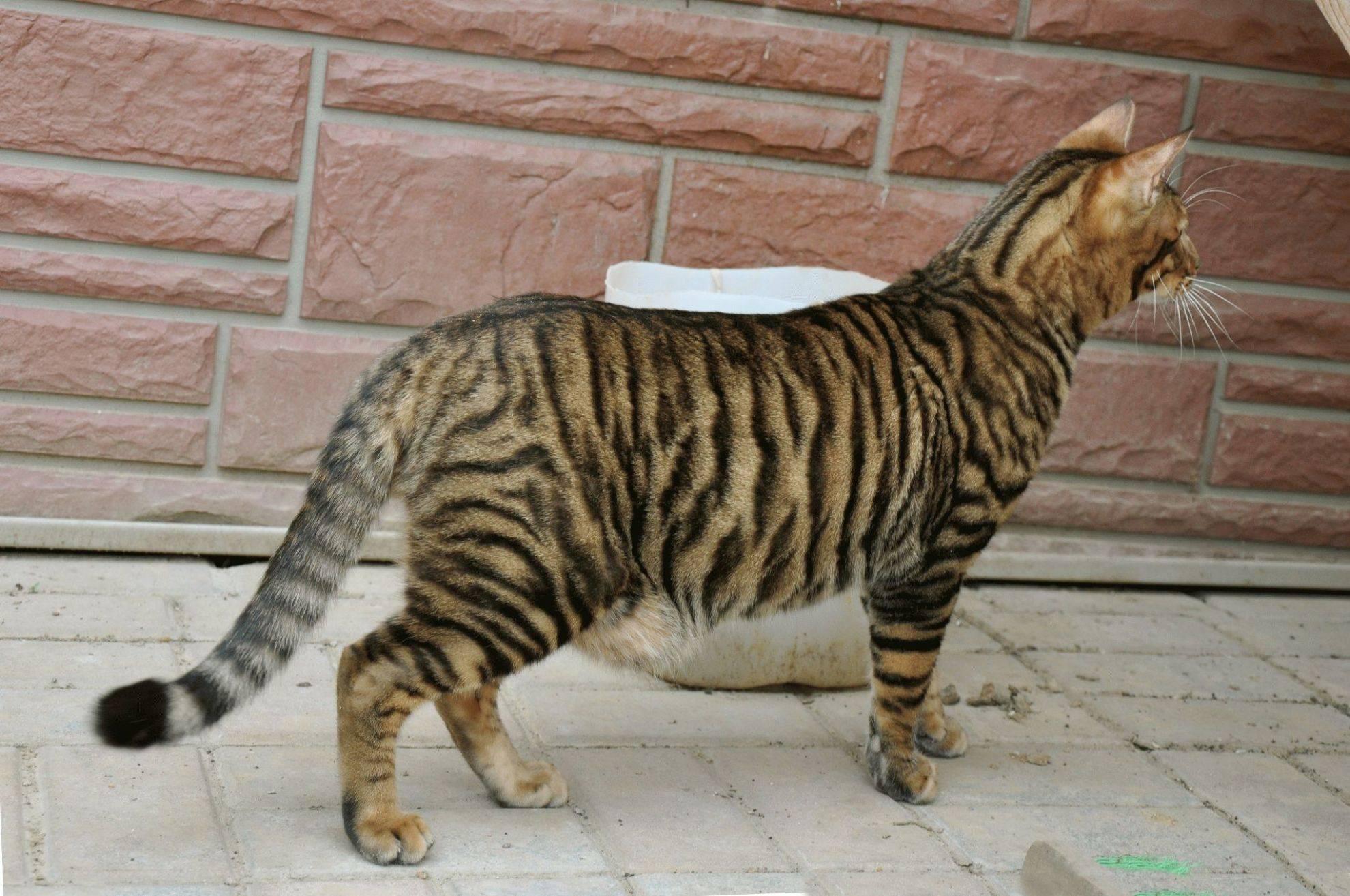 Полосатый кот: породы кошек в полоску, фото и названия полосатиков