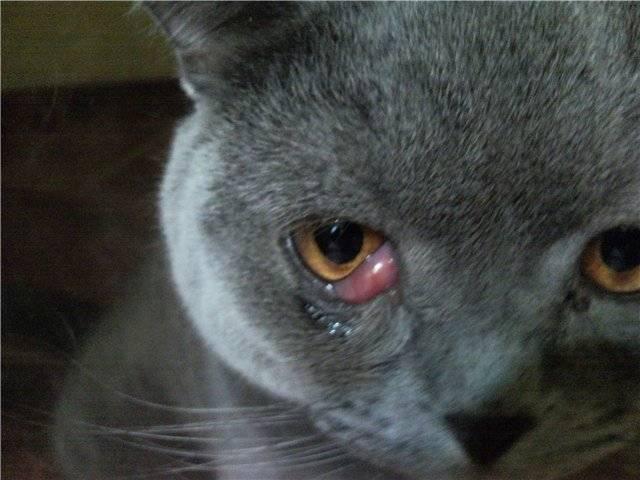 Третье веко у кошки: что такое, причины лечение, профилактика