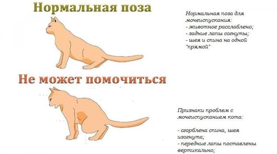 Срочно нужен врач: кровь в моче у кота