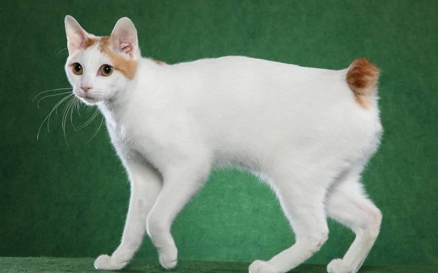 Меконгский бобтейл: описание породы и характер кошек