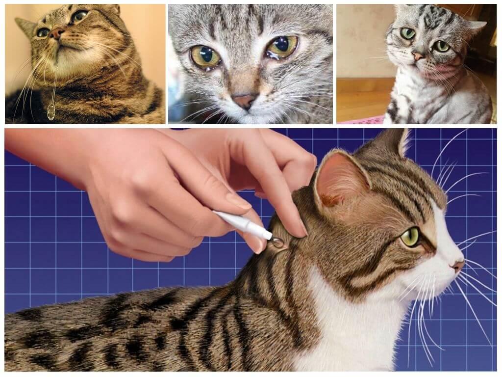 Капли на холку от блох для кошек: как капать, инструкция, виды