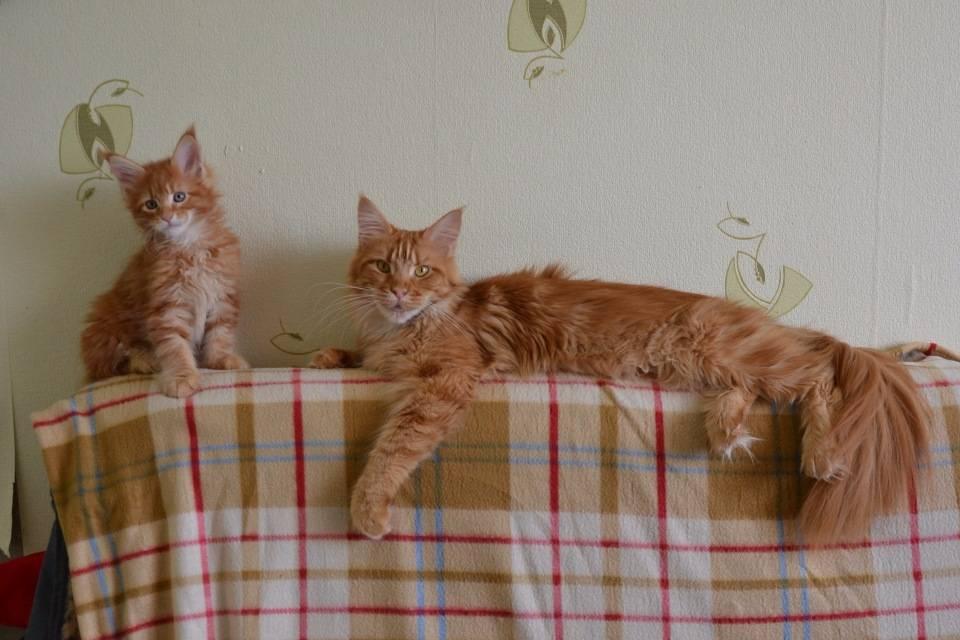 Помесь мейн-куна и обычной кошки: станет ли котенок большим