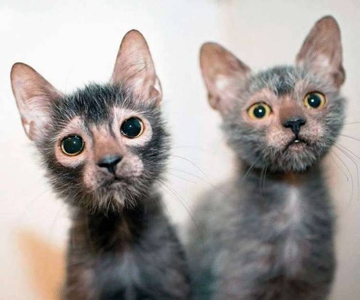 15 интересных фактов о кошках и 5 самых необычных пород