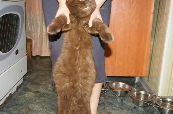 Асцит у кошек: причины водянки