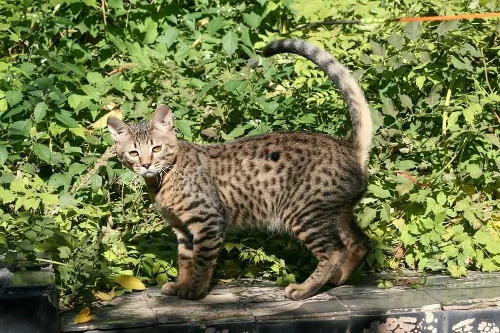 Кошки породы серенгети: описание, характер, советы по содержанию и уходу, фото