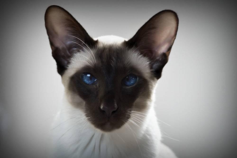Характер сиамской кошки