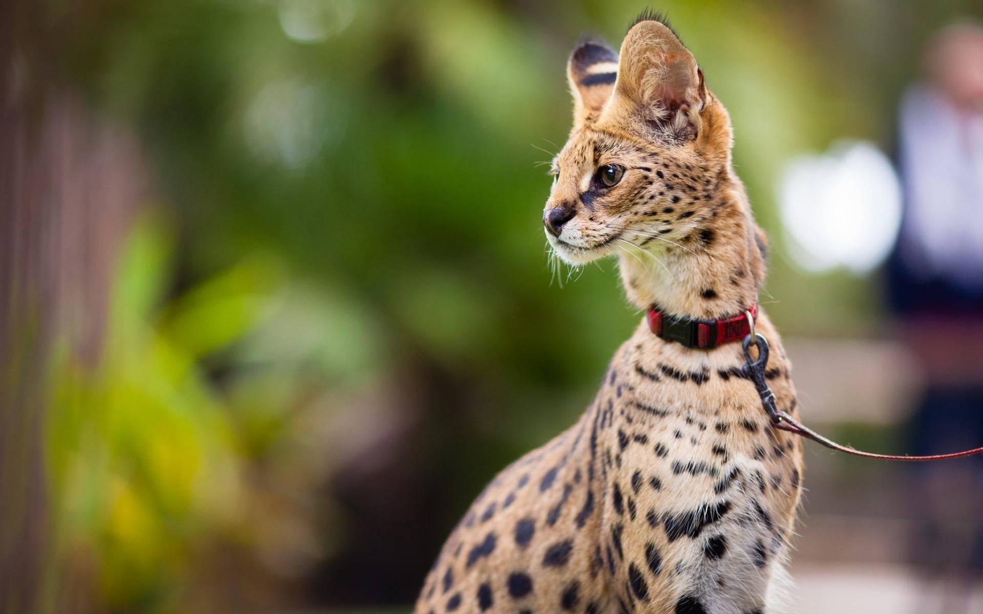 Африканская кошка сервал — знак престижа
