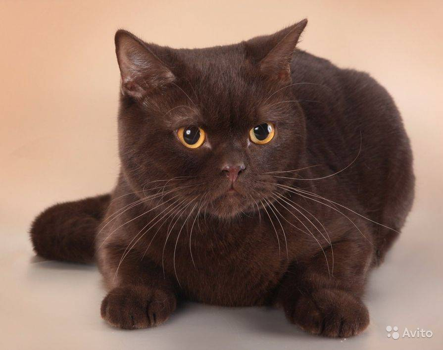 Британская кошка - 84 фото истинных леди и джентльменов