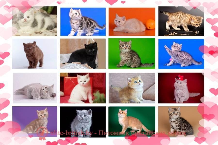 Чем кормить британского котенка:советы и рекомендации