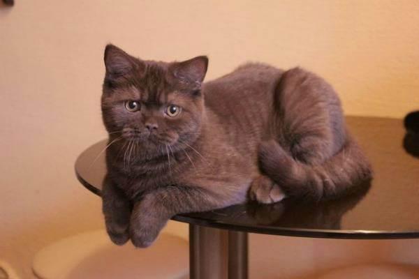 Окрасы британских кошек (36 фото): особенности британцев черепаховой расцветки, дымчатых и шоколадного цвета
