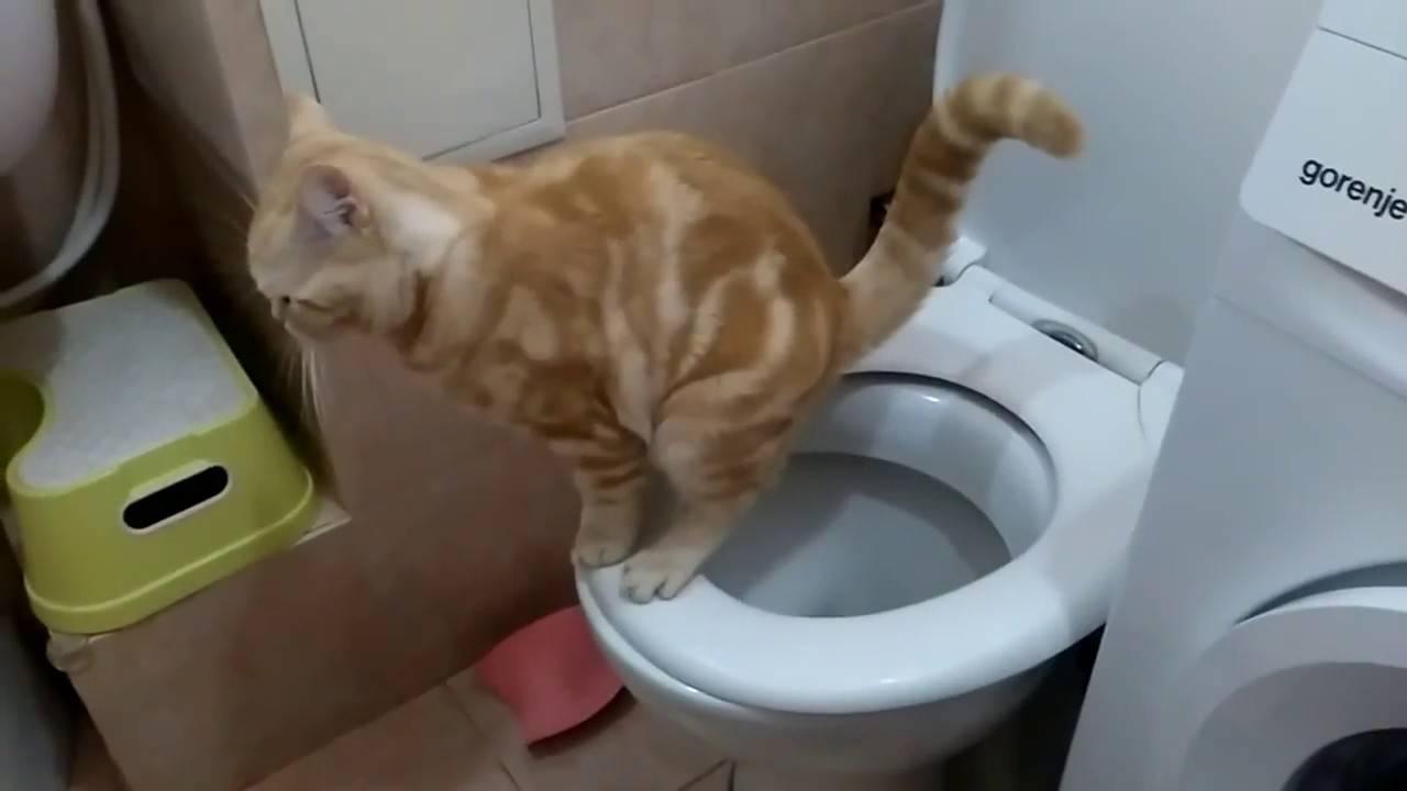 Как приучить кота, кошку и котенка ходить в туалет на унитаз после лотка в квартире в домашних условиях