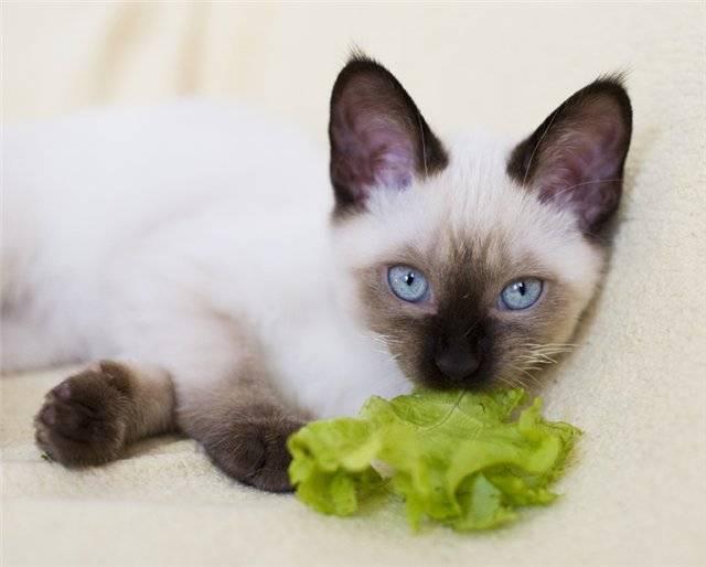Чем кормить сиамскую кошку: лучшие корма + натуральное питание чем кормить сиамскую кошку: лучшие корма + натуральное питание