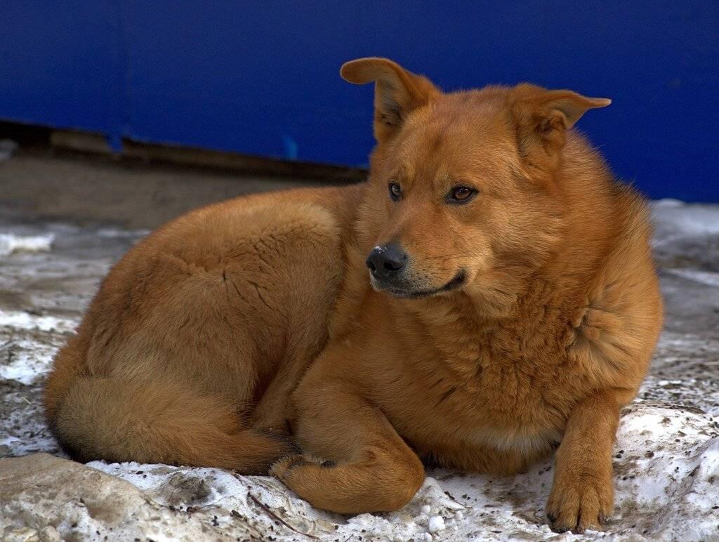 Русская собака дворняжка: описание и характеристики породы, достоинства дворняг