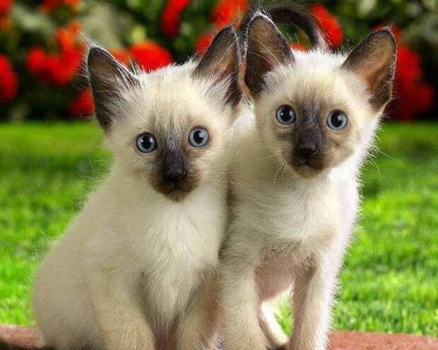 Разнообразие окрасов ориентальных кошек
